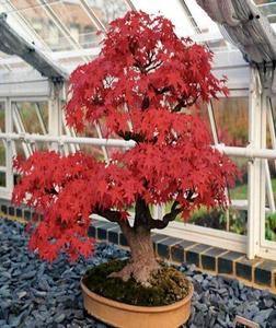 Red Bonsai Potted Plant Red Flowers Crape Myrtle Tree Myrtle Seeds 20 Seeds