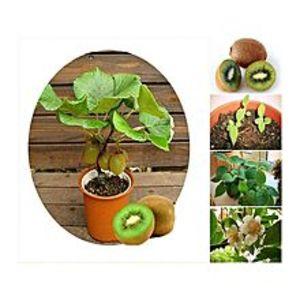 Bonsai SeedsThailand Mini Kiwi Fruit Seeds Imported