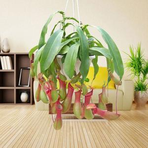 Carnivorous Plants Seeds Flytrap Plants Seeds RARE 100pcs/Bag Garden Supplies Home Garden Nepenthes Mira Seeds Bonsai Planting