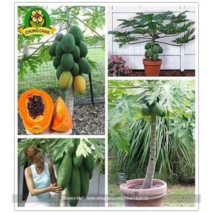 Bonsai Papaya Tree Seeds