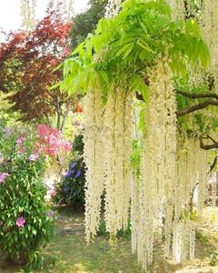 Wisteria Seeds Rare Flower Bonsai