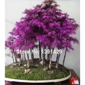 Rare Purple Dawn Redwood Bonsai Tree