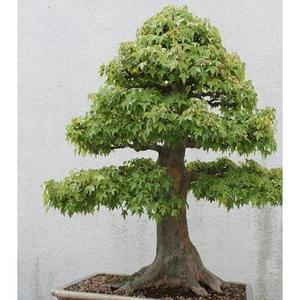 American Miniature Green Maple Seeds