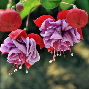 Lantern Flower Seeds Flower Seeds Colorful 10pcs/Bag Mixed Color Bonsai Landscaping Fuchsia Seeds Planters Planting