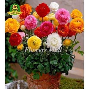 Ranunculus Persian Buttercup Flower Seed
