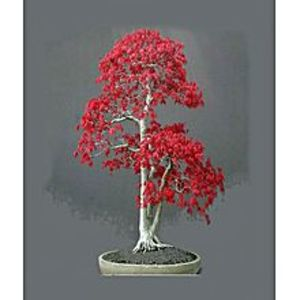 FlairRed Bonsai Crape Myrtle Potted Plant Red Tree Seeds - 20 Seeds