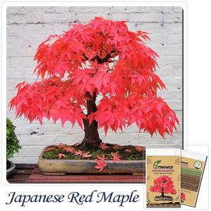 Indoor Plants Japanese Maple Bonsai Tree Red Maple Gorgeous Color