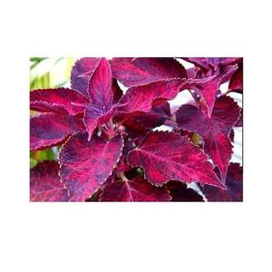 Beautiful Coleus Flower Seeds - Bonsai Flower Potted Plant - Dark Pink