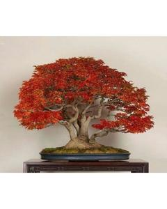 Red Japnese Maple Bonsai Tree Seeds