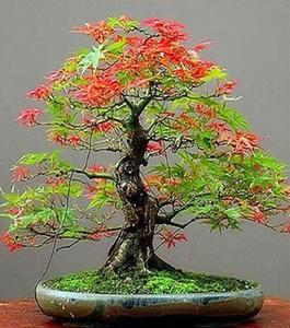Japanese Red & Green Maple Bonsai Tree Seeds