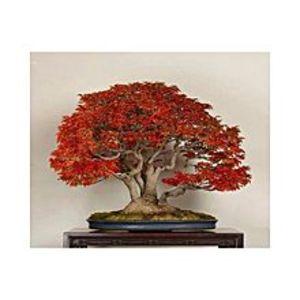 ZeyfaRed Japnese Maple Bonsai Tree Seeds