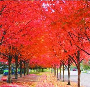 10pcs Red Japanese maple Tree Seeds