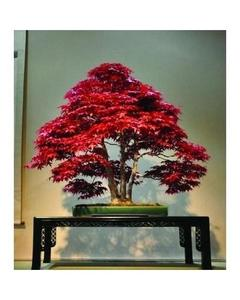 Japanese Red Maple Bonsai Tree Seeds Home Gardening