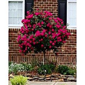 BaghbaanRed Rose Tree Seeds