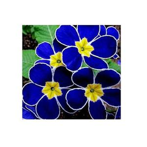 Original Primula Primrose Seeds - Indoor Blooming Bonsai Flower - Blue Color