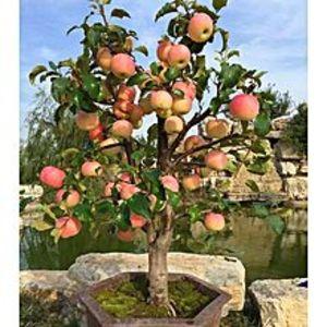 Mahogany SeedsBonsai Apple Tree Seeds