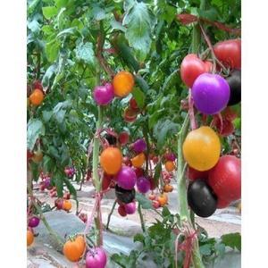 Rare Rainbow Tomato Seeds Ornamental Pot Organic Heirloom Seed Vegetables
