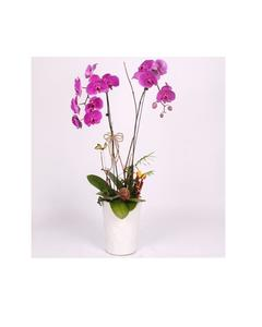 Rare Orchid Bonsai Flower Seeds, Butterfly Orchid, Purple Color