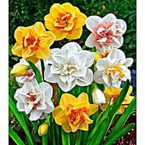 Bonsai SeedsBeautiful Narcissus Flower Balcony Plant Seeds-Yellow White Mix