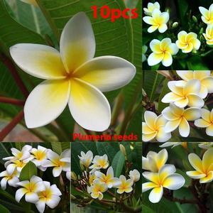 Flower Plant Seeds Egg Flowers Seeds Beautiful 10pcs/Bag Bonsai Potted Plumeria Seeds Beautifying Home Garden