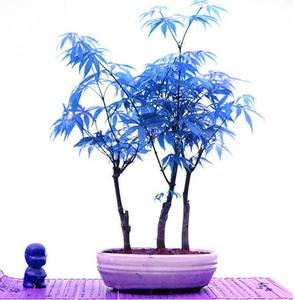 30pcs Rare Japanese Blue Maple Tree Seeds Exotic Mini Bonsai Tree Seeds Sky Blue