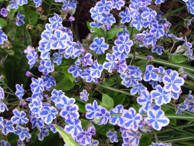 forget-me-not Flower(25 seeds) Bonsai Starry Eyes