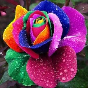 20Pcs Rainbow seeds Garden flowers Seeds Pot Bonsai Rose Seed