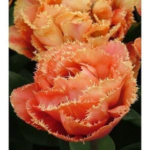 Hybrid Fringed Tulip Orange