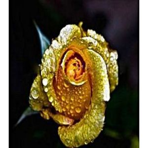 Bonsai SeedsRare Yellow Gold Rose Imported Seeds