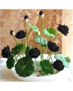 Bonsai Bowl Black Lotus Seed - Aquatic Plants Flower Seeds - Pot Water Lily Seeds For Home Garden