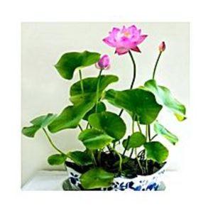 MomentousBonsai Bowl Pink Lotus Seed - Aquatic Plants Flower Seeds - Pot Water Lily Seeds For Home Garden