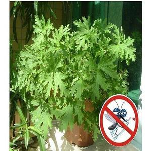 Mosquito Repelling Grass Mozzie Buster Sweetgrass Seeds