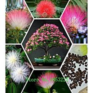 Mahogany SeedsBonsai Tree Pink Albizia Julibrissin Seeds