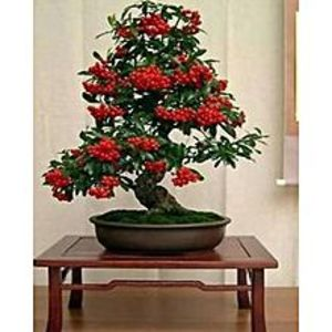GLORIOUS GIFTS50 Pcs Balcony Flowers Indoor Potted Plants Pyracantha Bonsai Tree Seeds