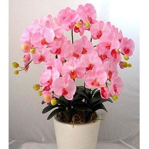 Phalaenopsis Orchid Pink Seeds Home Gardening