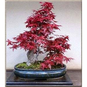 Foliage Plants Bonsai Red Maple Seeds Home Gardening