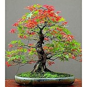 Mahogany Seeds Japanese Red & Green Maple Bonsai Tree Seeds