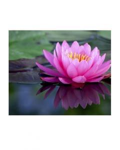 Lotus Seeds Bonsai Water Plant