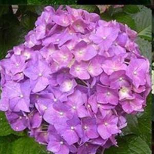Perennial Flower Seeds Hydrangea Seeds Rare 5 Color 20pcs/Bag Bonsai Home Garden Plant Seeds Planters Yard
